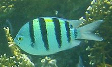 Specie di pesci presenti nell'Oceano Indiano - Wikipedia