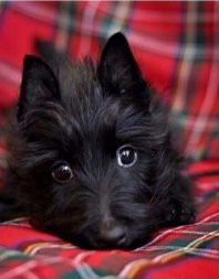 Scottie pup Scottish Terrier Puppy, Cairn Terrier, Terrier Dogs, Little Dogs, Big Dogs, Cute Dogs, Animals Beautiful, Cute Animals, Scottie Dogs