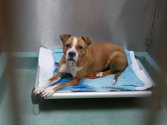 SAFE❤️❤️ 1/20/17 BY ANIMALS CAN'T TALK❤️❤️ THANK YOU SO VERY MUCH❤️❤️ 1/18/17 LISTED TO BE MURDERED ONCE AGAIN!! RUNNING OUT OF CHANCES AND TIME!! RESCUE ONLY!! Brooklyn Center My name is DOBBY. My Animal ID # is A1100737. I am a female brown and white am pit bull ter mix. The shelter thinks I am about 5 YEARS old. I came in the shelter as a STRAY on 12/30/2016 from NY 11238, owner surrender reason stated was STRAY.