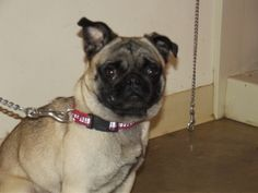Stetson is an adoptable Pug Dog in Mansfield, OH. Meet Stetson...he came in as a stray on 5/9/12. Can you believe this face