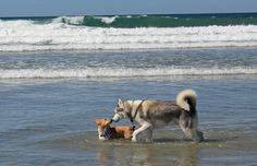 Corgi and a husky having fun in the surf at the San Diego September 2013 Corgi Meetup at Del Mar beach.