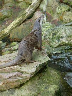 Otter finden einen sehr neugierigen Hund wirklich interessant