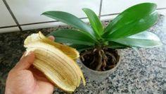 Chcete mít dokonale krásné orchideje? Zapomeňte na chemii a hnojte je přírodou. Banánová slupka je tím pomocníkem, který bude ten pravý. Mnoho lidí ji považuje za odpad a po snědení banánu ji vyhodí. Jak se ale dozvíte, je to velká chyba a vy byste to dělat rozhodně neměli. Podívejte se s námi na to, jak […] Orchids Garden, Orchid Plants, Garden Plants, Flowers Garden, Gardening For Beginners, Gardening Tips, Indoor Garden, Indoor Plants, Garden Kids