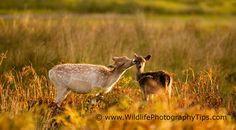 """Fallow deer grooming her little one at sunrise. Wildlife Photography Tips, Deer Photography, Fallow Deer, Kangaroo, Twitter, Animals, Sunrise, Baby Bjorn, Animales"