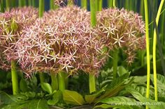 Jackie Currie, Alliums, and the RHS Hampton Court Palace Flower Show 2017 - Pumpkin Beth Different Flowers, Rhs Hampton Court, Replant, Plants, Mushroom Compost, Pink Flowers, Flowers, Flower Show, Rhs