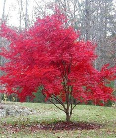 Japanese Maple Tree - love these colorful trees Flowering Trees, Trees And Shrubs, Trees To Plant, Small Landscape Trees, Small Garden Trees, Trees For Front Yard, Front Yards, Baumgarten, Red Tree