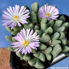 Conophytum blandum