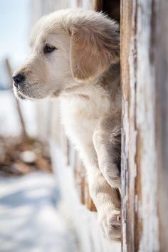 pawsforpets:  Golden Retriever puppy (via Pinterest)