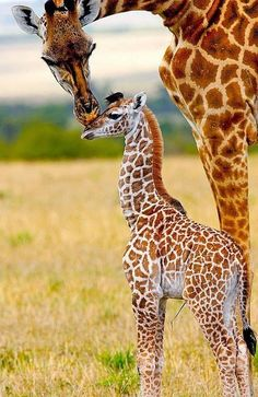Baby animals - Giraffes