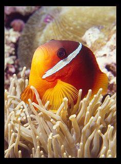 Poisson clown II - Taveuni, Fidji Nord par Jose A Hauer 1 Fish 2 Fish, Red Fish Blue Fish, Tropical, Ocean Creatures, Sea And Ocean, Marine Life, Under The Sea, Underwater, Clownfish