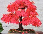 Fiery Red Japanese Red Maple Tree, Grow Your Own Bonsai, Seeds