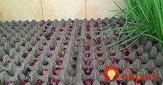 Ak by ste si radi doma sami dopestovali cibuľu, ale nemáte záhradu, nezúfajte! Existuje dômyselný spôsob, ako si dopriať radosť z vlastnoručne vypestovanej cibule aj v bytových podmienkach.    Prečítajte si nasledujúci návod, ako pestovať cibuľu na