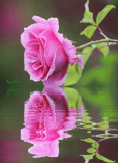 Animated Gif, Animated Gifs, Flores, Rosas, Flowers, Beautiful Flowers