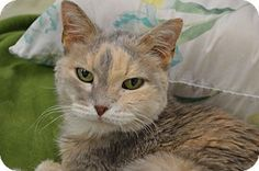 House Springs, MO - Domestic Shorthair. Meet Hannah, a cat for adoption. http://www.adoptapet.com/pet/12446610-house-springs-missouri-cat