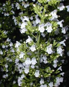 Calamintha nepeta White Cloud is an outstanding plant due to the prolonged flowering that starts in late summer and continues to early frosts.