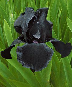 Giaggioli Study In Black | Piante | Bakker