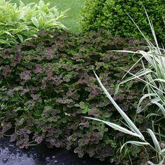 trifolium purpurascens quadrifolium - purple four-leaf clover (white flowers)