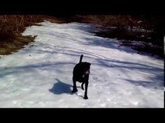 Black Lab dog body slides in the snow - YouTube