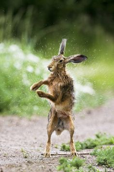 European Brown Hare drying off