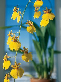 Oncidium Orchids. Sometimes called dancing lady orchids, oncidiums offer lots of colorful smallish flowers in clusters of 50 or more. They commonly appear in shades of yellow, purple, red, pink, and white, often with flamboyant, contrasting markings.  How to Grow Them: Oncidium selections do best in medium to bright light. Water them weekly or every other week and feed them monthly in spring and summer with an orchid fertilizer. They do best in temperatures from 50 to 75F.