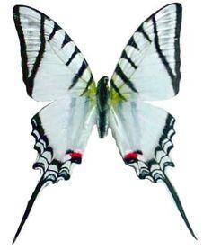 "Framed Zebra Swallowtail Butterfly Riker Mount (8"" x 6"") Butterfly Utopia http://www.amazon.com/dp/B0093O05YA/ref=cm_sw_r_pi_dp_2Pflub185G0MF"