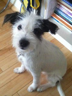 Mies the Jack Russell Mix -- Dog Breed: Wire Fox Terrier / Jack Russell Terrier
