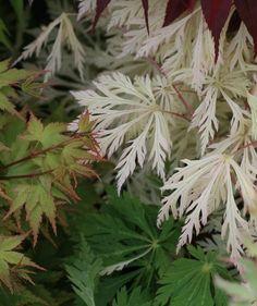 Acer japonicum Kujaku Nishiki  - ce site montre de superbes variétés d'érables.... A consulter pour en prendre plein les yeux !