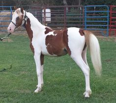 d65243ac55 Flashy harness pony ASPC Sire is Congress champion and champion producer