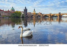 Prague. Image of Charles Bridge in Prague with couple of swans  in the foreground.