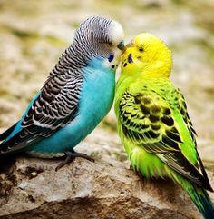 TRUE LOVE #parakeets