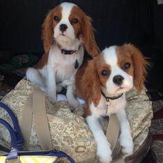 Terrier mix, Australian shepherd and Terriers on Pinterest