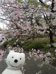 クマ散歩:国立劇場さくらまつりに品行方正なクマ出没2 The Bear went to National Theatre of Japan Cherry Blossom Festival!♪☆(^O^)/  #品行方正 #さくらまつり