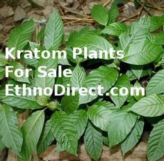 If you are looking for a Kratom Plant go to http://ethnodirect.com
