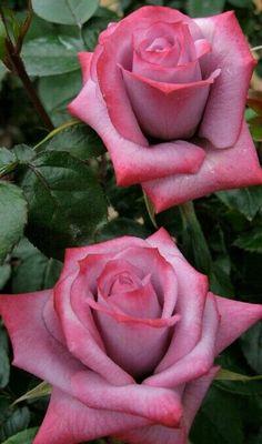Rose  ღ ℒℴvℯly