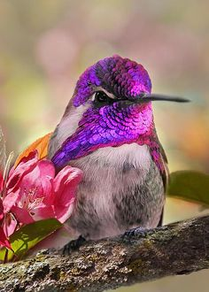 Costa's Hummingbird by Leda Robertson Learn more about Hummers - http://www.the-scoop-on-wild-birds-and-feeders.com/hummingbirds.html