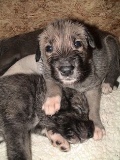 gotta get one of these today! (:  -Irish Wolfhound pups
