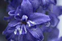 'Zarte Blüte in blau' von Petra Dreiling-Schewe bei artflakes.com als Poster oder Kunstdruck $7.13