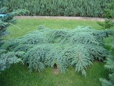 Quality Australian Native and Ornamental Plants. Juniperus Squamata, Blue Carpet, Ornamental Plants, Garden, Flowers, Trees, Google, Plant, Garten