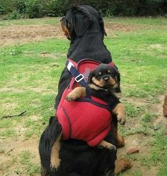 Funny pictures about Rottweiler Backpack. Oh, and cool pics about Rottweiler Backpack. Also, Rottweiler Backpack photos. Rottweiler Love, Rottweiler Puppies, Cute Puppies, Cute Dogs, Dogs And Puppies, Doggies, Baby Animals, Funny Animals, Cute Animals
