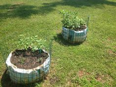 Veggie Garden 2014--Our First!! 2 right potato towers w/ German Butterball Org Potatoes we direct sewed in early May. Will plant earlier next year if can get org starters earlier. About 8 sprouts/tower. 6/14