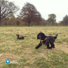 Tongues out fun today on walkies!  #opcbonnie #cockerspaniel #dogs #ireland