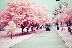 Árvores rosa.