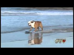 English Bulldog skating and surfing