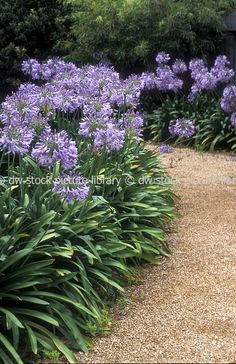 agapanthus...lots of them for the side of the house