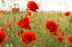 A gyönyörű és teába is kiváló virágok védik az egészséget. Poppies, Watermelon, Drawings, Garden, Flowers, Plants, Beautiful Roses, Landscaping, Garten