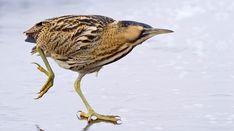 Roerdomp (Van vroegevogels)