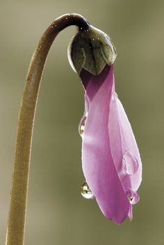purple flower dripping with dew drops prepares to open its bud as it awakens from its slumber