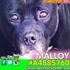 #SaveMALLOY - #A4885760 ❤️SCARED-LONELY CUTIE IN 44 DAYS  RESCUE ONLY Needs FOSTER for RESCUE  MALLOY is very shy but deep down he secretly just wants to roll around in the dirt & play with worms like all the other pups! He was too frightened to come close for yummy treats (Can't imagine what this pups seen in his short life ). MALLOY didn't pass his TEMPERMENT TEST (pssst - don't trust TEMP TEST scores: They're wrong far more than they're right). This means he's RESCUE ONLY & his …