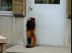 A red panda trying to open a door. | 50 Animal Pictures You Need To See Before You Die