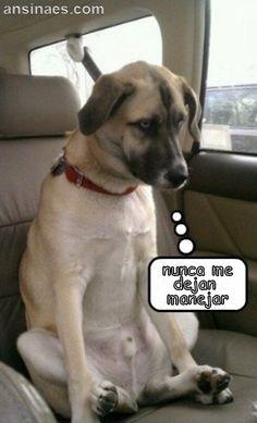 Fotos graciosas - Perro Triste por que no lo dejan manejar